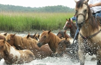 chincoteague-pony-roundup-